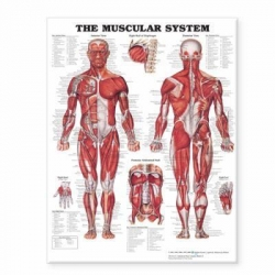CHART MUSCULAR SYSTEM LAMINATED (MUSC)