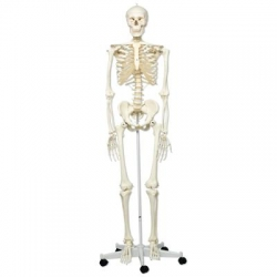 HUMAN SKELETON ON STAND (A10)